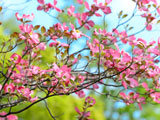 شکوفه گلهای بهاری صورتی