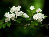 شکوفه زیبای بهاری درختان