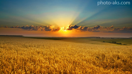 مزرعه گندم در غروب summer evening cornfield