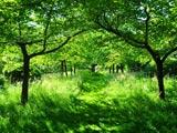 سایه درختان میوه سرسبز تابستان