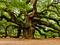 عکس درخت بلوط قدیمی