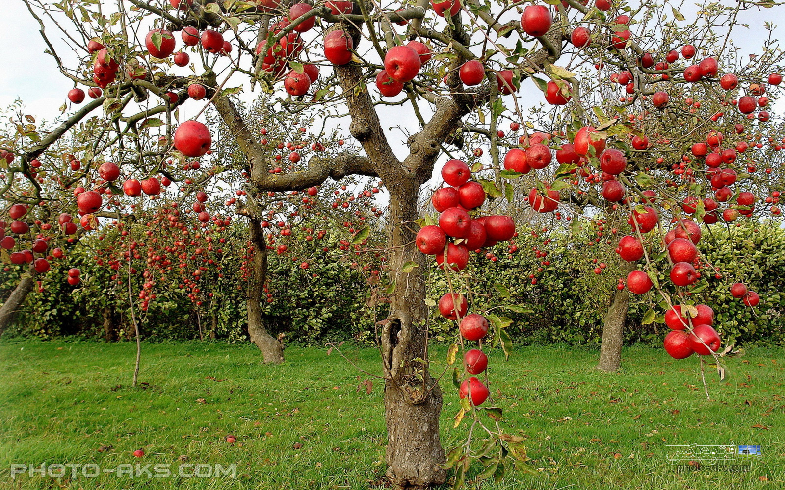 red_apple_tree.jpg