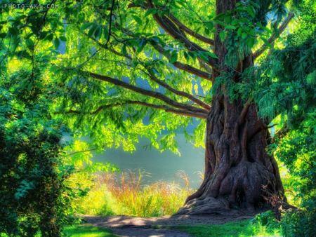 درخت زیبا و سبز کهنسال  aks derakht pir sabz