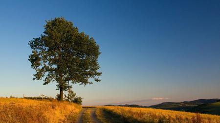 عکس تک درخت بلوط oak tree wallpaper