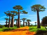 عکس زیبا درختان بائوباب