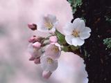 شکوفه بهاری روی تنه درخت