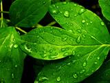 والپیپر برگ سبز درخت