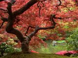 درخت زیبا با برگ های قرمز