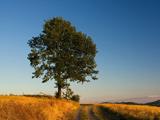 عکس تک درخت بلوط