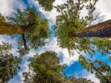 عکس درختان رو به آسمان