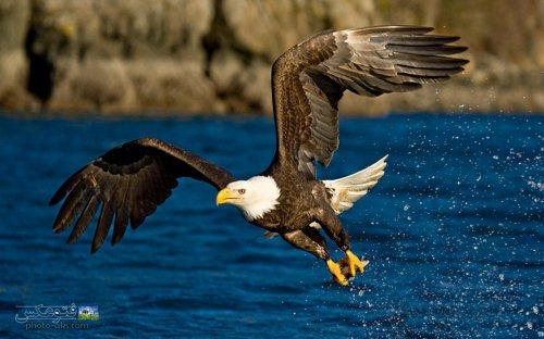 شکار ماهی توسط عقاب بزرگ - زیباترین صحنه پرواز پرندگان