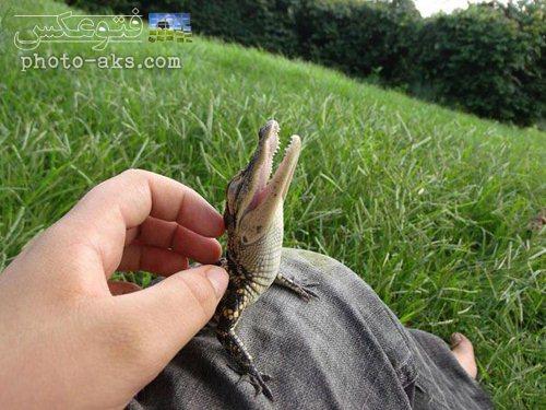 عکس بچه تمساح تازه متولد شده