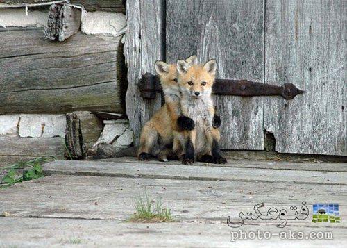 بازی بچه روباه های شیطون و بامزه