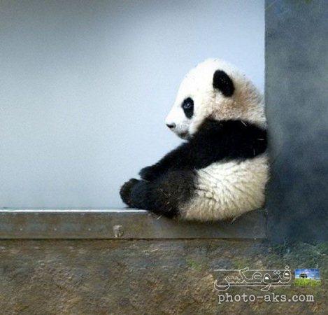 aks khers panda bamazeh