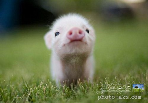 عکس بچه خوک بامزه و خیلی کوچولو