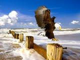 عقاب سر سفید در ساحل دریا