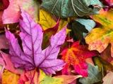 عکس برگ های رنگارنگ پاییزی