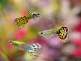 عکس ماهی زینتی گوپی