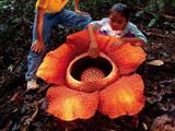 رافلزیا بزرگترین گل جهان