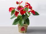 گلدان گل آنتوریوم قرمز