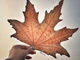 تک برگ پاییزی