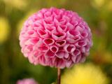 عکس گل کوکب صورتی