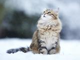 عکس گربه در برف زمستانی