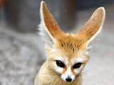 روباه فنک