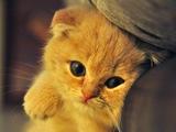 عکس بچه گربه طلایی ناز