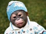 میمون بانمک با لباس
