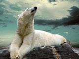عکس خرس قطبی روی صخره