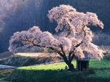 شکوفه های بهاری سفید