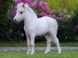 عکس کره اسب سفید خوشگل